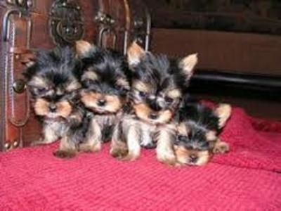 Adorable Male And Female Teacup Yorkie Puppies For Good Home We Have Males And Healthy Male And F In 2020 Yorkie Puppy Yorkshire Terrier Puppies Teacup Yorkie Puppy