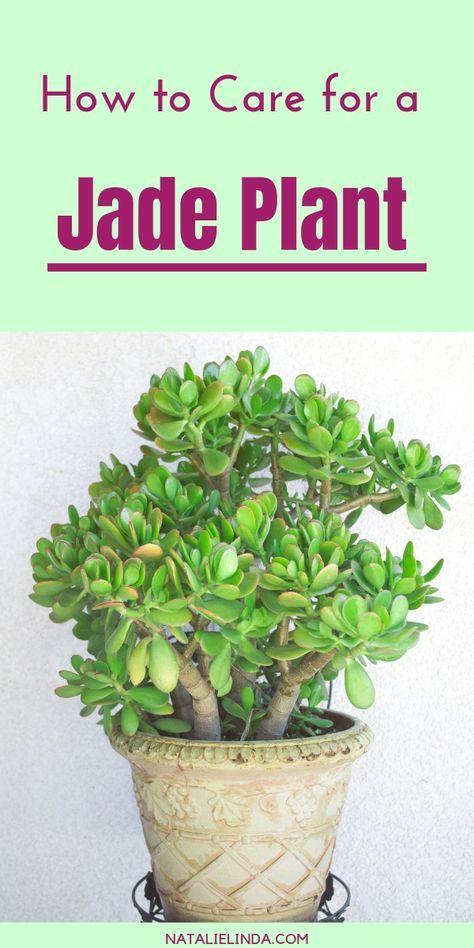 How To Prune A Jade Plant Jade Plants Jade Plant Care Jade Plant Pruning
