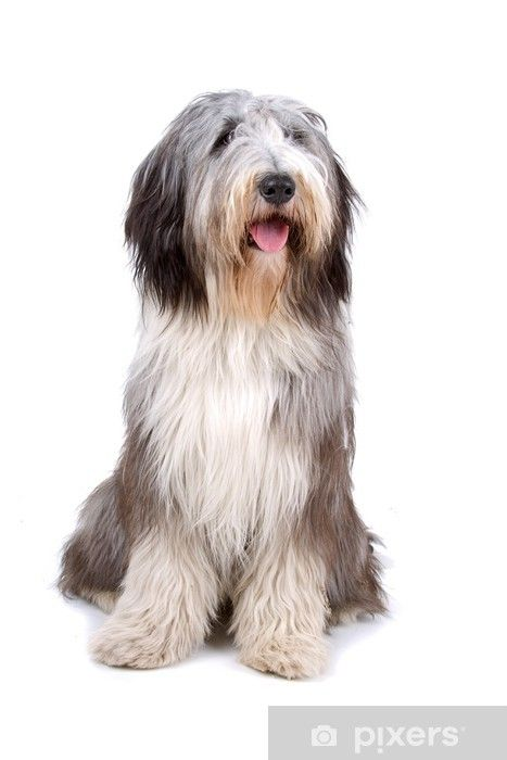Bearded Collie Highland Collie Mountain Collie Wall Mural