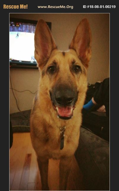 Adopt 18080100219 German Shepherd Rescue Shoreview Mn Animal