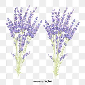 Lawenda Lawenda Purpurowy Kwiat Png I Plik Psd Do Pobrania Za Darmo Spring Flowers Background Flower Backgrounds Flower Png Images