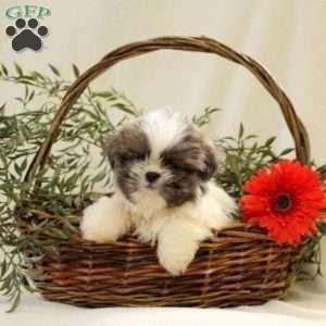 Shih Tzu Puppy In Stevens Pa Shihtzu Shih Tzu Puppy Shih Tzu Baby Shih Tzu