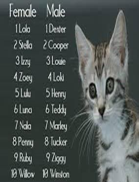Top 100 Boy Kitten Names And Cute Girl Kitten Names Cat Guides Kitten Names Girl Cat Names Dog Names