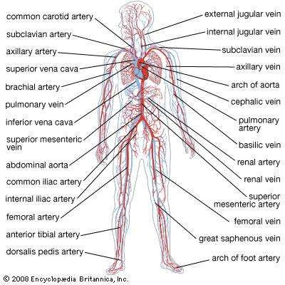 Circulatory System Circulatory System Abdominal Aorta