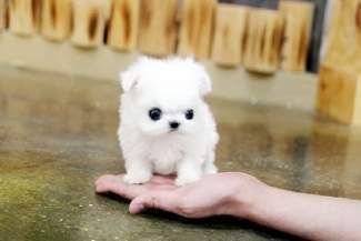Sooo Fluffy Maltese Really Cute Puppies Maltese Puppy Teacup