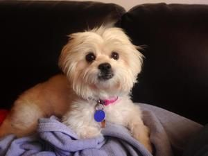 Samantha Is An Adoptable Maltese Shih Tzu Mix In Miami Fl From