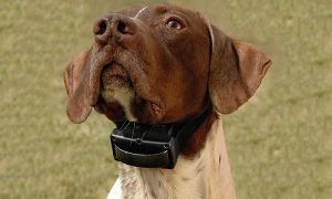 How Does A Shock Collar Work Shock Collars Are A Type Of Aversive