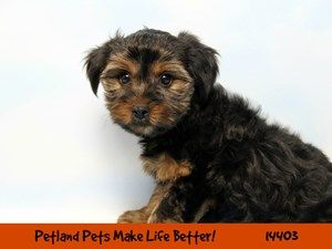 Dogs Puppies For Sale Petland Chicago Ridge Illinois Pet Store With Images Puppies For Sale Dogs And Puppies Pet Store