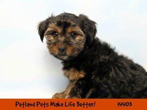 Dogs Puppies For Sale Petland Chicago Ridge Illinois Pet