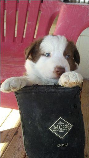 Border Collie Puppy For Sale In Pahrump Nv Adn 27869 On Puppyfinder Com Gender Female Age 7 W Border Collie Puppies Collie Puppies Collie Puppies For Sale