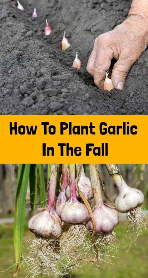 Fall is sneaking up on us quickly, which means it's time to get digging in the garden to plant your garlic! Garlic is one of the few crops that you plant in the fall in Veg Garden, Fruit Garden, Edible Garden, Garden Plants, Vegetable Gardening, Veggie Gardens, Container Gardening Vegetables, Balcony Garden, Garden Beds