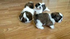 Shih Tzu Puppies For Sale Near Me Find The Best Places To Buy