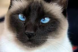 Glorious Siamese Cat Gallery Ideas Siamese Cats Blue Point Fancy Cats Werewolf Cat
