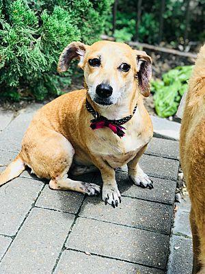 Houston Tx Dachshund Meet Kury A Pet For Adoption Pet Adoption Dachshund Adoption Dachshund