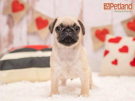 Puppies For Sale Pug Puppies Puppies For Sale Puppies