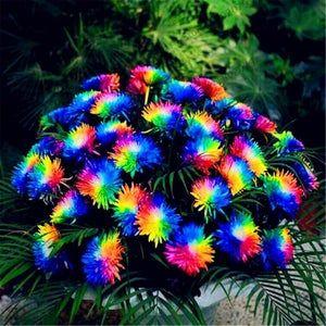 Rainbow Chrysanthemum Flower Bonsai Seeds Rare Color Flower Plant Seed 100 Pcs
