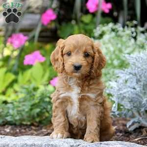 Cockapoo Puppies For Sale Cockapoo Dog Breed Info Greenfield