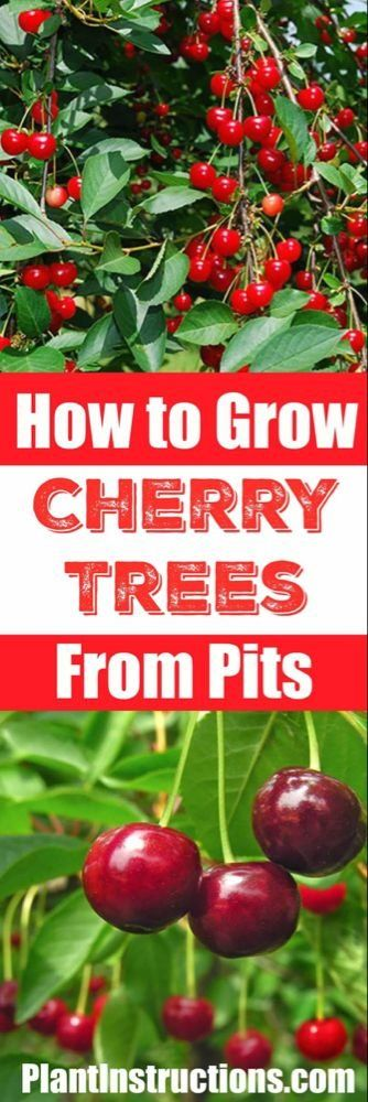 How To Grow A Cherry Tree From Seeds 1000 Fruit Garden Growing Cherry Trees Indoor Fruit Trees