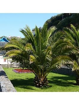 2 Hardy Phoenix Palm Trees Tropical Garden Outdoor Patio Yard 80-100cm Tall Pair