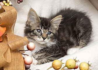 Cream Tabby Gold Eyes Red Nose Raspberry Tongue Cats And Kittens Cool Cats Tabby