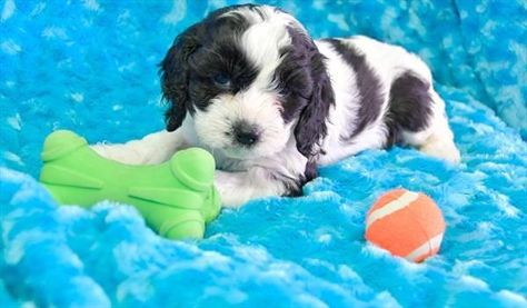 Petland Overland Park Has Cockapoo Puppies For Sale Check Out All Our Available Puppies Cockap Cockapoo