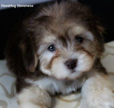 Puppies For Sale Havahug Havanese Puppies Kleine Hunde