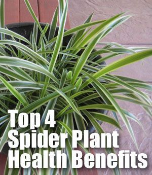 How Spider Plants Chlorophytum Comosum Are Beneficial For Our Health And For Which 4 Toxins House Plants Spider Plants Spider Plant Benefits Plants