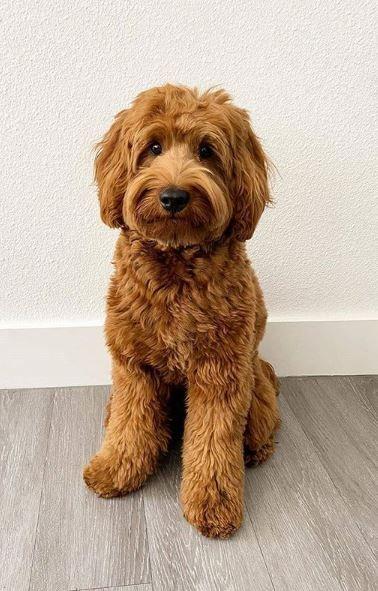 Cute Labradoodle In 2020 Labradoodle Labradoodle Dogs Dog Allergies