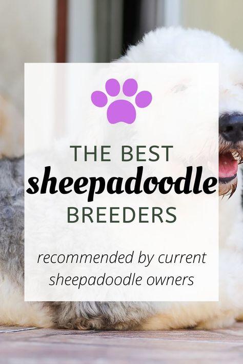 25 Sheepadoodle Breeders In North America In 2020 Sheepadoodle Breeders Sheepadoodle Puppy