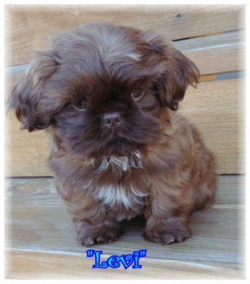Little Chocolate Levi From Glory Ridge Shih Tzu Shih Tzu Puppy Cool Pets Shih Tzu