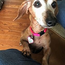 Columbia Tn Dachshund Meet Athena In Ny A Pet For Adoption