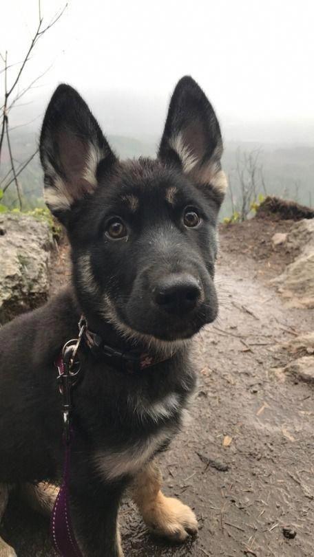 Discover The Confident German Shepherd Exercise Needs