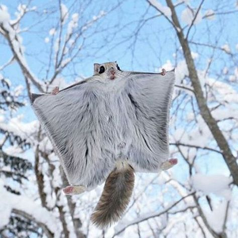"""geographicwild: """" . Photography by @ (Masatsugu Ohashi). Flying squirrel…"""