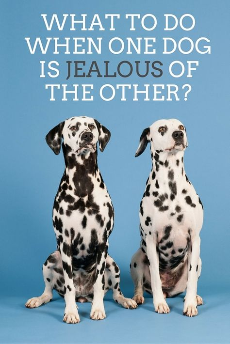 What To Do When One Dog Is Jealous Of The Other And Growls Dogs