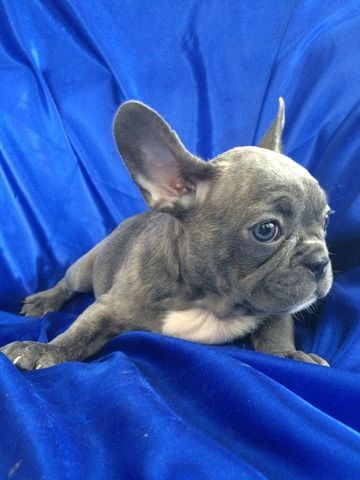 Litter Of 9 French Bulldog Puppies For Sale In Saint Petersburg