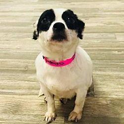 New York Ny Chihuahua Meet Peaches A Dog For Adoption
