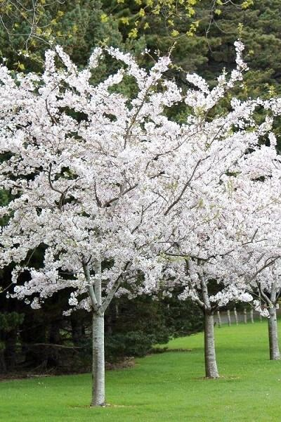 Wilson Bros Gardens The Magnificent Trees That You Ll See In Glorious Bloom At The Macon Georg Flowering Cherry Tree White Flowers Garden Yoshino Cherry Tree