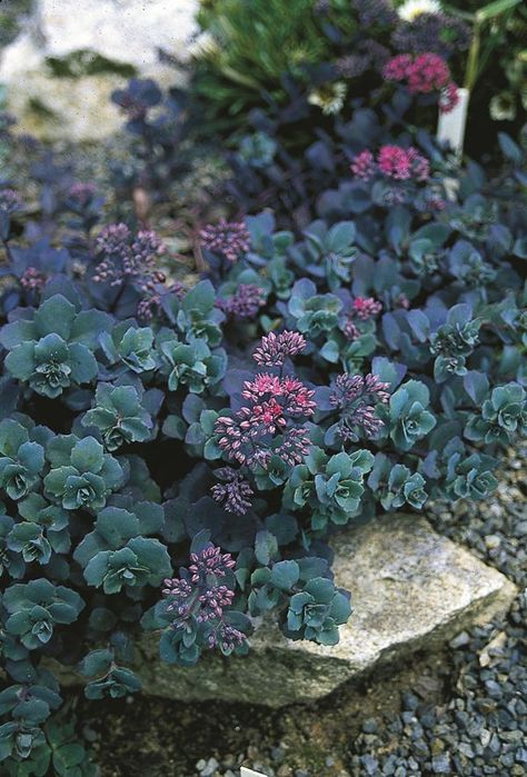 Sedum telephium 'Sunset Cloud' - so many great colors in this stonecrop. contrasts with yellows, chartreuse or pale sage greens. plants with a dark purple or powdery blue tinge really play well with this too.