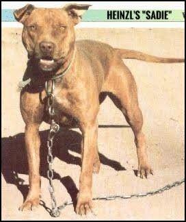 HEINZL'S SADIE  - American Pitbull terrier , Apbt , Pitbull
