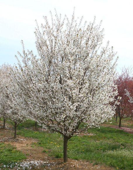 Prunus 39 Snow Goose 39 Flowering Cherry Tree Deciduous Trees Cherry Tree