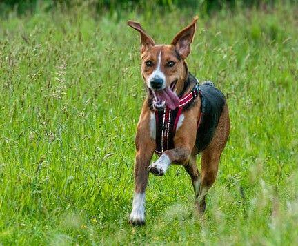 Swedish Hamiltonstovare Scenthound Dogs Corgi Animals