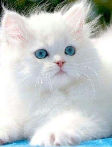 Blue Eyes Fluffykittens Blue Eyes In 2020 Kittens Cutest Cat Breeds Beautiful Cats