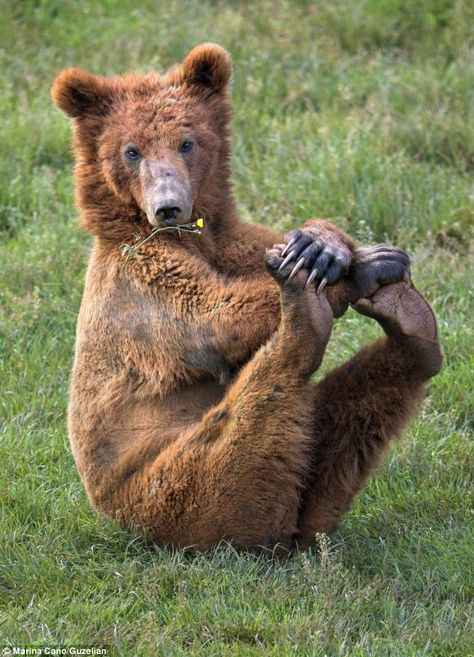 The bear crosses its front paws and uses them to strike up another position - this time with both hind legs stretched out. Brown bear's are ...