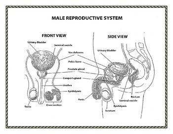 Reproductive System Of The Human Male Reproductive System
