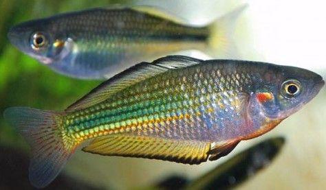 Pin By Tommy Murphy On Rainbowfishes Aquarium Fish Australian Rainbow Fish Fish Tank Plants