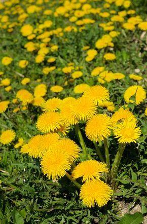 Mniszek Lekarski Wlasciwosci I Zastosowanie Lecznicze Natural Remedies Herbs Nature