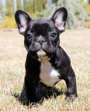 Flawless Frenchies French Bulldog Breeder Lula Ga French