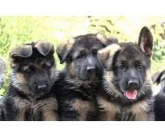 German Shepherd Puppies Available For Sale Or Exchange Possible
