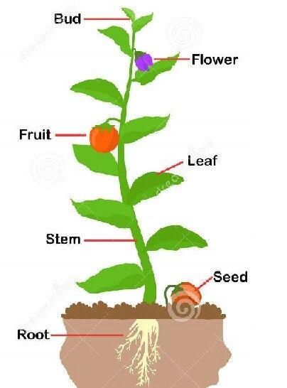 Colour Diagram Of A Plant Plants Plant Leaves Flower Bud