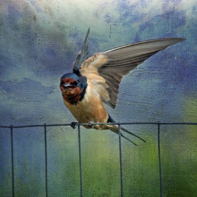 barn swallows are my favorite birds